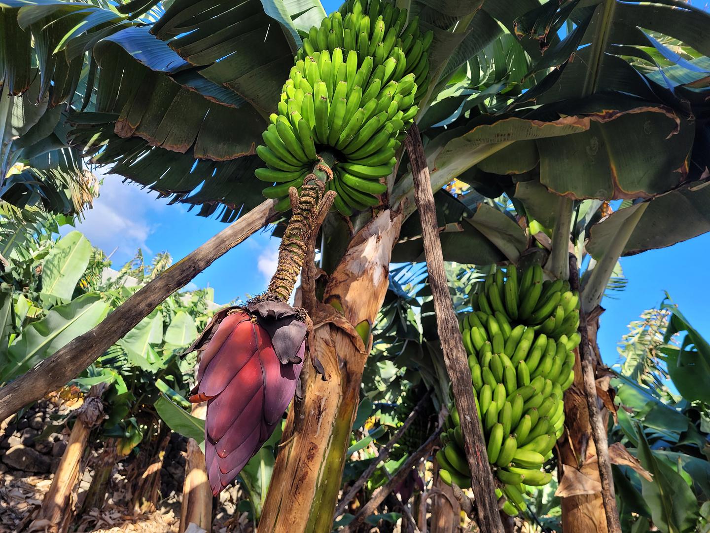 fajana-bananas.jpg