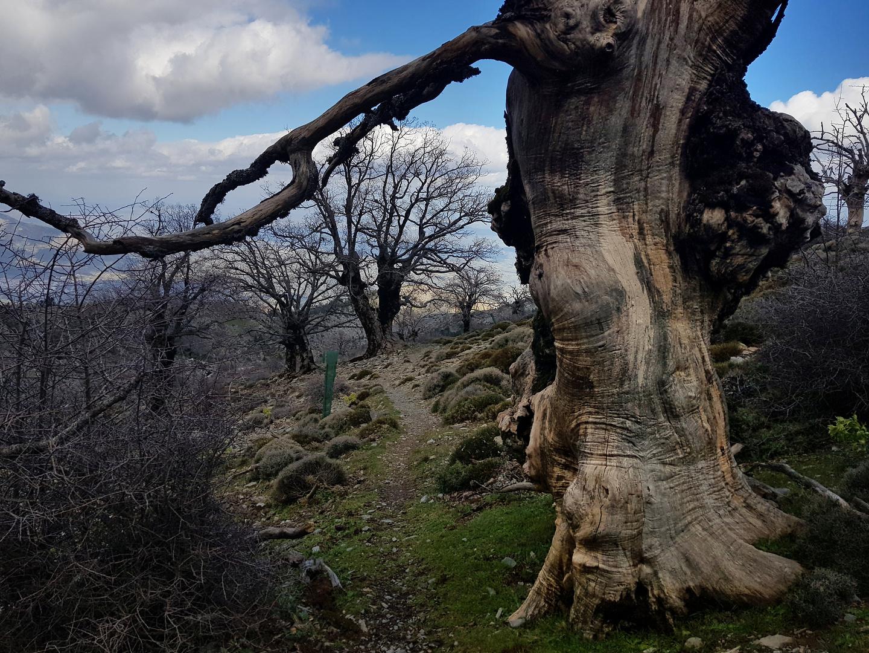 sierranieves-tree.jpg