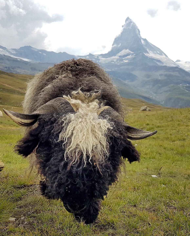 zermatt-sheep1.jpg
