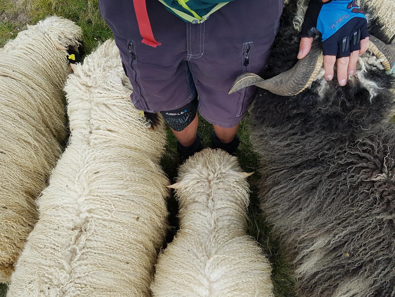 zermatt-sheep4.jpg